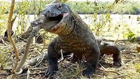 科摩多巨蜥,科摩多龍,猴子,獵殺(圖/翻攝自推特)