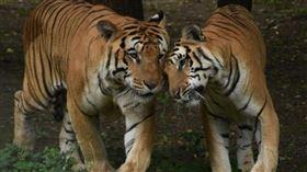 印度,保育,野生老虎,生態,維護