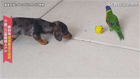 狗:「借我球球嘛!」 鸚鵡護球劍拔弩張