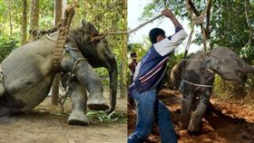 大象,泰國,訓獸師,旅客,騎乘,傷口,疤痕,Phajaan,表演,疼痛,反抗, 圖/翻攝自推特