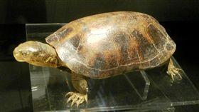 保育類動物,柴棺龜(圖/翻攝維基百科)