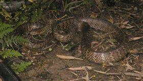 滑鼠蛇(rat snake)(圖/翻攝自百度百科)