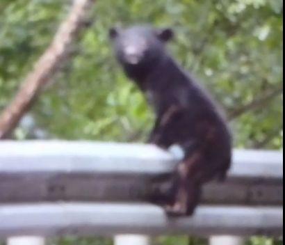 小台灣黑熊落單 迷惘眼神惹人憐