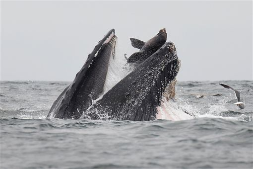 海獅,座頭鯨,攝影師,賞鯨,照片(圖/翻攝自Chase Dekker-Wild Life Images臉書)