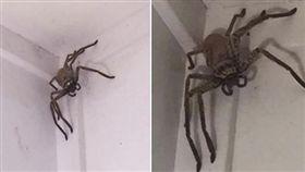 澳洲巨無霸獵人蛛。(圖/翻攝自Facebook/Bluewater News group)