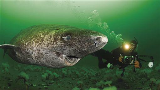 格陵蘭鯊,尼爾森,小頭睡鯊/youtube-Wonder World