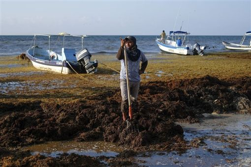 棕色海草,全球暖化,墨西哥,馬尾藻,邁阿密海灘