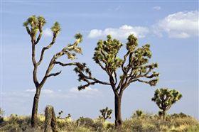 約書亞樹,美國西南部,全球氣候變遷,龍舌蘭科,更新世時期