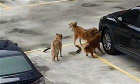 野狗啃咬車輛,用力的往後拉扯。(圖/翻攝自爆廢公社 臉書)