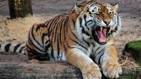 -老虎-(示意圖/取自Pixabay)