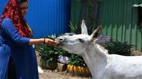 印度,網紅,唱歌,母驢。(圖/翻攝自al-ain)
