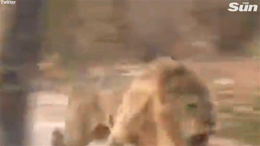 獵人,獵殺,獅子(圖/翻攝自太陽報)