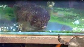 網友用螃蟹餵食河豚經過。(圖/翻攝自爆廢公社)