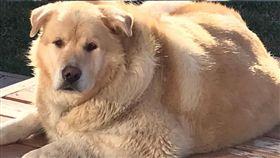 成功減重的黃金獵犬Kai。 (圖/翻攝自This is Kai臉書)