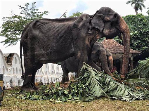 沒人看到她淚水…70歲母象被逼遊行 掀開華服「皮包骨」圖翻攝自Save Elephant Foundation臉書