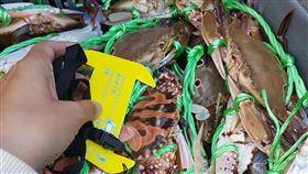 蟳蟹類,繁殖期,違規,捕撈,遭罰(圖/新北市政府漁業及漁港事業管理處提供)中央社