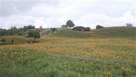 金針花季,花蓮玉里赤科山,六十石山,盛花期,暖冬