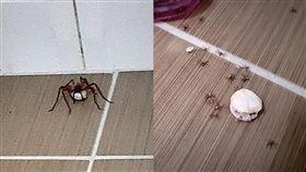 喇牙家中孵卵破蛋 新生蜘蛛滿地爬!網:恭喜當阿公阿嬤(圖/翻攝自臉書爆廢公社)