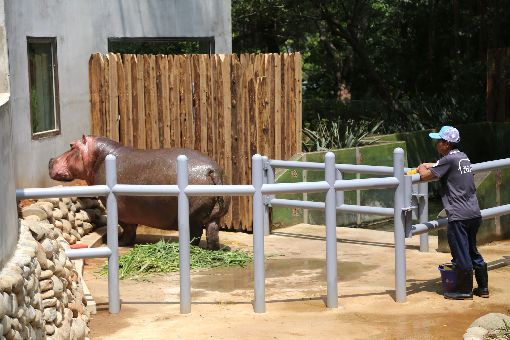 蔡總統參觀新竹動物園河馬新家(2)總統蔡英文16日走訪新竹市,前往預計於年底完工重新開放的新竹市立動物園,搶先參觀明星動物河馬「樂樂」的新家。中央社記者魯鋼駿攝  108年8月16日