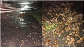 下雨路邊見「蝸牛開轟趴」!一隻疊一隻…黏液滿滿 網驚:賺死了(圖/翻攝自爆廢公社)