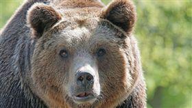棕熊,熊,打獵(圖/翻攝自pixabay)