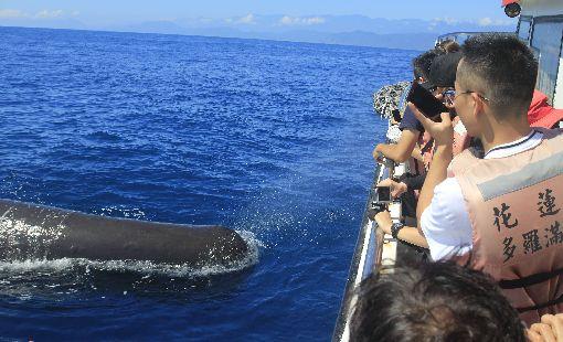 花蓮海域鯨豚爆出 抹香鯨與遊客互動近來花蓮海域鯨豚爆出,甚至沉潛於深海、極神祕的抹香鯨頻頻現身,每年夏天都出現在花蓮海域的一頭抹香鯨會主動與賞鯨船上遊客互動。 (賞鯨業者提供)中央社記者李先鳳傳真 108年8月19日