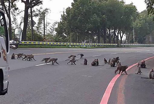 雲林民眾目睹獼猴群結隊過馬路雲林縣政府農業處19日指出,台灣獼猴已經從保育類動物除名,但隨著獼猴繁殖快、猴群壯大,覓食成為重要需求,加上可能受到山區果樹產量減少影響,猴群從山區進入平地常有所聞,還有民眾目睹猴群結隊過馬路。(林中國小提供)中央社記者葉子綱傳真  108年8月19日