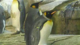 領養蛋成功!同志企鵝曾孵石頭為求子  柏林動物園,國王企鵝