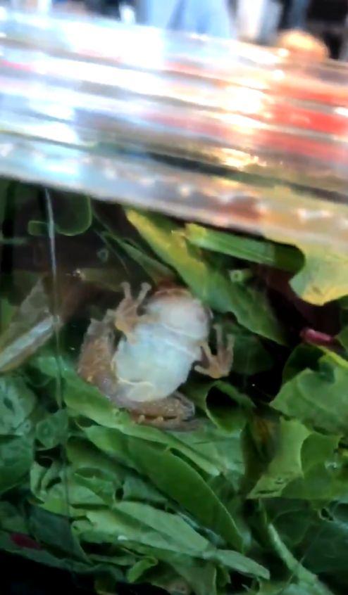 威斯康辛州,有機菜,沙拉,青蛙,品管