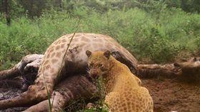 南非,長頸鹿,草莓豹,黃金豹。(圖/翻攝自Black Leopard Mountain Lodge臉書)