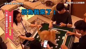▲楊姓網友飼養的美短貓,突然一個暴衝跳上麻將桌,將整桌麻將打亂後又轉身逃跑消失。(圖/楊政達 授權)