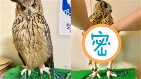 貓頭鷹真實雙腳曝光 逆天長腿網驚呆(圖/翻攝自あ、さとーです推特)