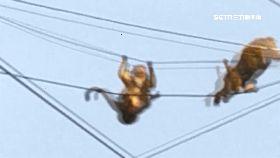 獼猴扯電線1200