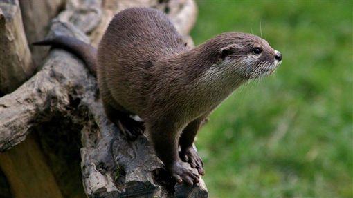 水獺,瀕危動物,動物保護團體,日本,滅絕