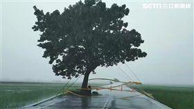 白鹿狂風暴雨肆虐台東 金城武樹現況曝光 圖台東池上鄉民代表許金興授權提供