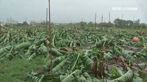 白鹿風雨襲! 台東香蕉園不堪強風倒一片