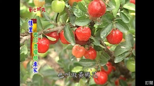 草地狀元-西印度櫻桃(圖/草地狀元YOUTUBE)