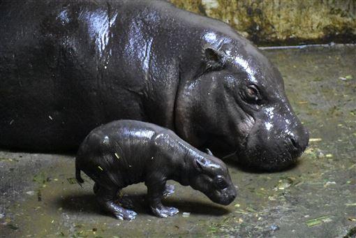 壽山動物園,侏儒河馬,待命名,有喜,成功繁殖(圖/壽山動物園提供)中央社