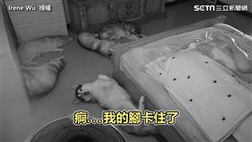 哈士奇睡覺「睡到腳卡住」! 竟意外驚動全家人!