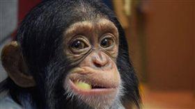 黑猩猩與橘貓。(圖/翻攝自rozechimpanzee ig)