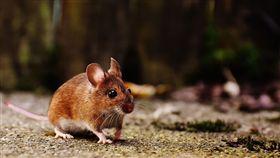 老鼠(圖/pixabay)