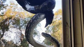 澳洲,蟒蛇,地毯蟒,喜鵲,屋頂(圖/翻攝自reddit)