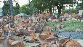 C奈良鹿群謎1700