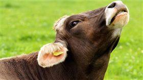 阿伯,泰國,母牛,性侵(圖/取自Pixabay)