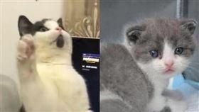 中國首隻複製貓「大蒜」今年7月問世,「造價」人民幣25萬元(新台幣110萬元),剛滿月的「大蒜」身體狀況良好,外型和本尊差異僅是少了下巴上的黑塊。左圖為本尊,右圖為複製貓(圖片取自紅星新聞微博weibo.com)