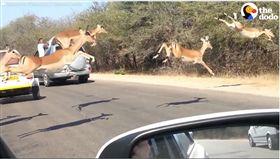 羚羊「超不科學」飛越車陣…駕駛傻眼 原來後有奪命趕羚羊 (圖/翻攝自The Dodo臉書)
