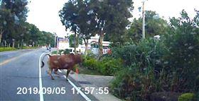 金門縣,黃牛,竄出,撞損汽車,嚇壞駕駛(圖/金湖分局提供)中央社