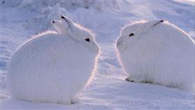 北極兔,翻攝自百度