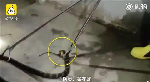 中國,四川,眼鏡王蛇,臭青母(圖/翻攝自梨視頻)