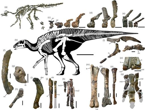 研究團隊在日本北部發現「神威龍」部份尾巴骸骨,而後又挖出整具骸骨。他們相信這是隻9歲成年恐龍,可能重達4000公斤或5300公斤。(圖取自nature.com)